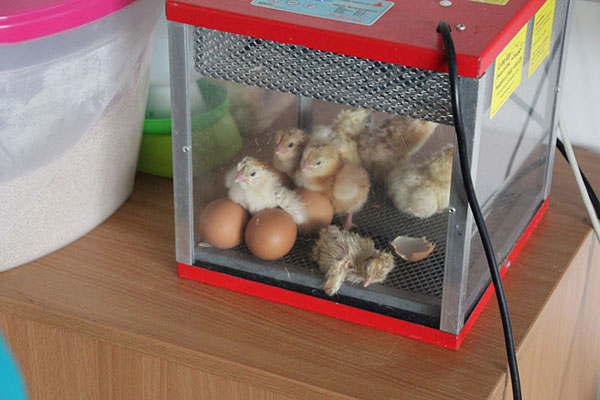 Waiting for the chicks to hatch